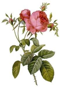 Rosa_centifolia_image